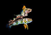 mahi-mahi, or common dolphinfish, Coryphaena hippurus, juvenile, Lake Worth Lagoon, Blue Heron Bridge, Riviera Beach, Florida, USA, Atlantic Ocean