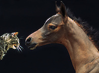 Arabian foal and cat, nose to nose.