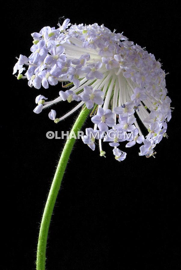 Flores. Didisco ( Didiscus coeruleus). SP. Foto de Manuel Lourenço.