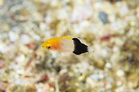 Tarry hogfish, Bodianus bilunulatus, Izu ocean park, Sagami bay, Izu peninsula, Shizuoka, Japan, Pacific Ocean