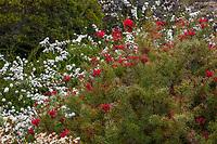 Grevillea wilsonii flowering Australian shrub in UC Santa Cruz Arboretum and Botanic Garden