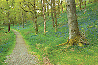 Bluebells at Lendrick Hill, The Great Trossachs Path, Glen Finglas, Loch Lomond and the Trossachs National Park, Stirlingshire