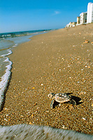 loggerhead sea turtle hatchling, Caretta caretta, Palm Beach County, Florida, Atlantic Ocean