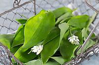 Bärlauch, Bär-Lauch, Ernte, in Korb, Allium ursinum, Ramsons, Wood Garlic, Wood-Garlic, L'ail des ours, ail sauvage