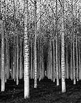 A birch grove in France