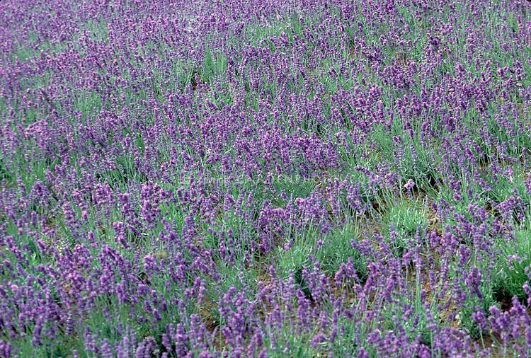 Lavandula angustifolia Hidcote in flower English lavender