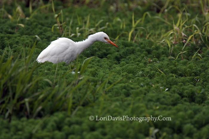 Cattle Egret in Greens  #E4