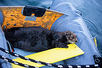 Southern sea otter, Enhydra lutris nereis, hauled out in an inflatable, Monterey, California, USA, Pacific Ocean, National marine sanctuary, endangered species