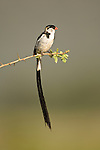 Male Pin-tailed Whydah (Vidua macroura) in breeding plumage. Samburu Game Reserve, Kenya.