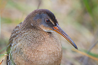 Adult Clapper Rail (Rallus longirostris) of the Gulf Coast subspecies R. l. saturatus. Cameron Parrish, Louisiana. October.