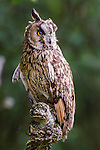 Long-eared Owl (Asio otus) in ancient woodland (controlled conditions). Isle of Mull, north west Scotland.