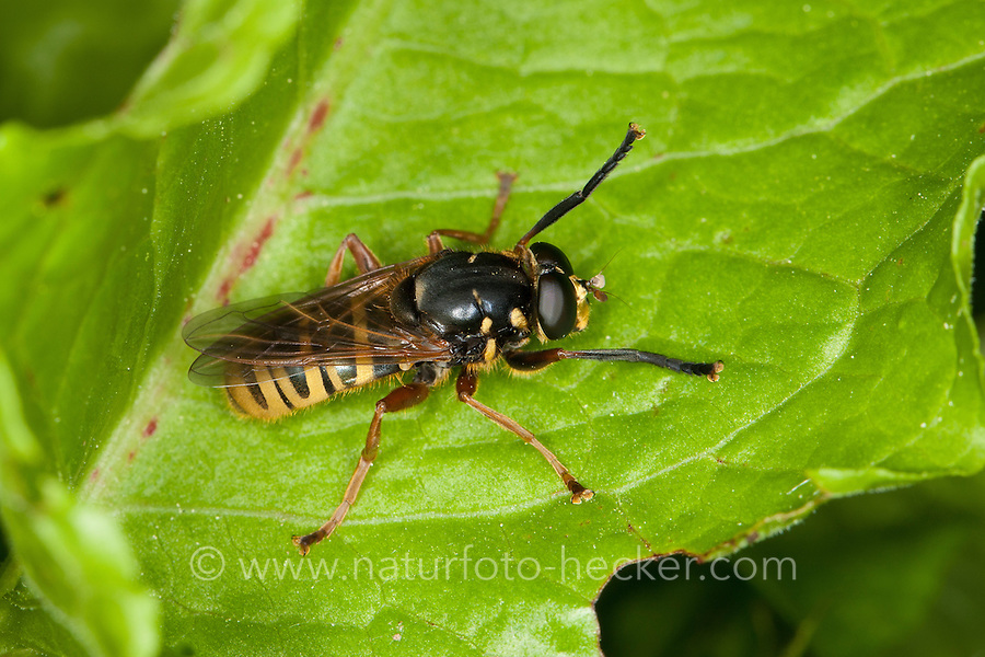 Bienen-Moderholzschwebfliege, Bienen-Moderholz-Schwebfliege, Moderholzschwebfliege, Temnostoma apiforme, Tarnung, Mimikry, Mimikri wegen Wespenähnlicher Zeichnung, Hover Fly, Hover-Fly, mimicry