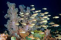 Many-striped cardinalfish or Candystripe cardinalfish, Apogon endekataenia, soft coral, Dendronephthya sp. Futo, Sagami bay, Izu peninsula, Shizuoka, Japan, Pacific Ocean