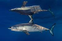 shortfin mako shark, Isurus oxyrinchus, Long Beach, California, USA, Pacific Ocean