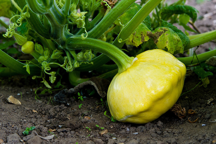 Patty pan-style squash 'Yellow Scallop', early August. Seeds were sown about 13 weeks earlier, at the end of April.