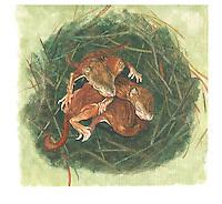 Eekhoorn (Sciurus vulgaris),. .