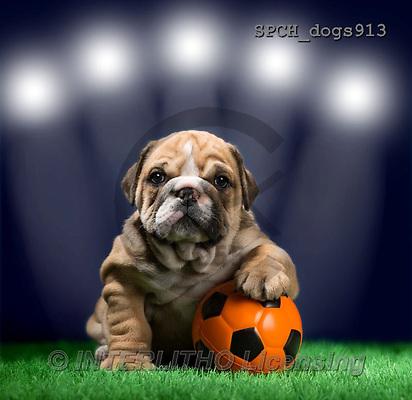 Xavier, ANIMALS, REALISTISCHE TIERE, ANIMALES REALISTICOS, dogs, photos+++++,SPCHDOGS913,#A#