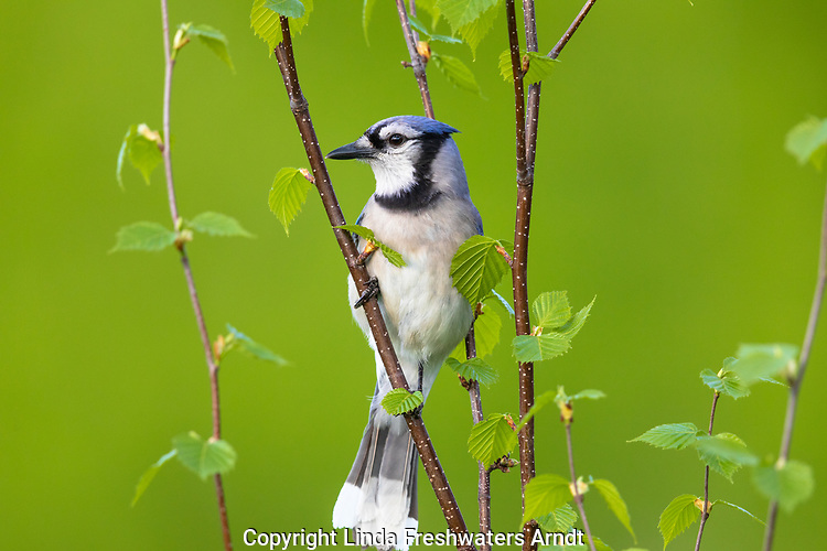 Blue jay perched in a speckled alder tree.