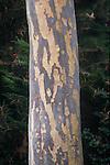 9387-CA Spotted Bark Gum Tree, Eucalyptus maculata, trunk, exfoliating bark, at Newport Beach, CA