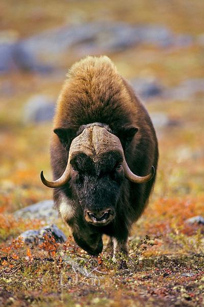 Muskox bull (Ovibos moschatus), Canadian tundra, Fall.