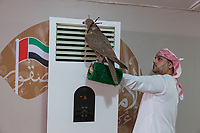 United Arab Emirates (UAE). Abu Dhabi. Organised jointly by the Hamdan Bin Mohammed Center for the Revival of Heritage (HHC) and Abu Dhabi Falconers Club, the UAE Falconers League has a total of nine rounds that ran until February 19 between Dubai and Abu Dhabi. Just before the 400 meters race, a falconer cools down his falcon by holding the animal close to an air conditioner (temperature 16 degree Celsius). The man is wearing a white thawb (thobe, dishdasha, kandora) which is an ankle-length garment, usually with long sleeves, similar to a robe, kaftan or tunic, commonly worn in the Arabian Peninsula. The headdress is called ghutrah. On the wall, a painted flag of the United Arab Emirates which contains the Pan-Arab colors red, green, white, and black. Falcons are birds of prey in the genus Falco, which includes about 40 species. Adult falcons have thin, tapered wings, which enable them to fly at high speed and change direction rapidly. Additionally, they have keen eyesight for detecting food at a distance or during flight, strong feet equipped with talons for grasping or killing prey, and powerful, curved beaks for tearing flesh. The United Arab Emirates (UAE) is a country in Western Asia at the northeast end of the Arabian Peninsula. 18.02.2020  © 2020 Didier Ruef