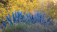 Agave americana, Century Plant with yellow flowering tree, Parkinsonia 'Desert Museum' in drought tolerant garden with stone retaining wall at Los Angeles Natural History Museum