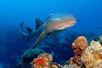 nurse shark, Ginglymostoma cirratum, Bahamas, Caribbean, Atlantic
