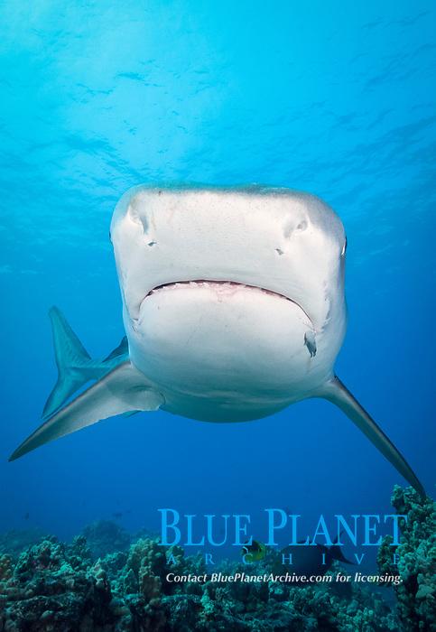 tiger shark, Galeocerdo cuvier, Honokohau, Kona Coast, Big Island, Hawaii, USA, Pacific Ocean