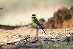 Rainbow Bee Eater - Australian Native Bird