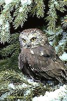 OW02-041z  Saw-whet owl - sitting on branch - Aegolius acadicus