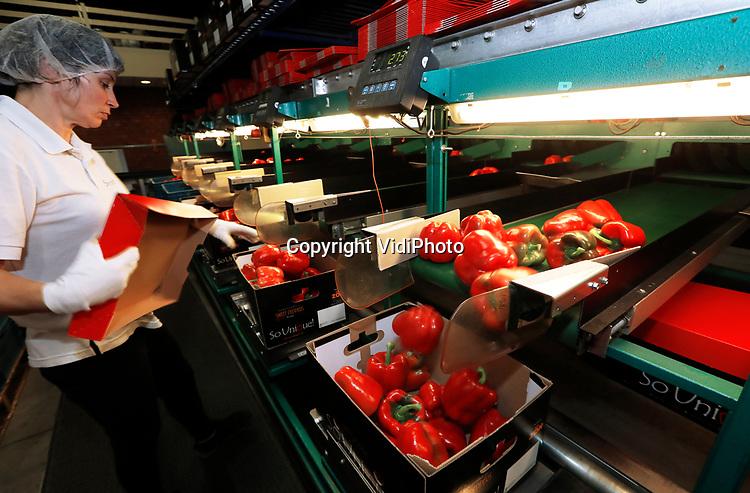 Foto: VidiPhoto<br /> <br /> EST – Paprikateler Van der Burg uit Est bij Geldermalsen is maandag begonnen met de laatste plukronde. Over enkele weken vindt de zogenoemde teeltwisseling plaats, waarbij de kassen worden schoongemaakt en de 11,5 ha. grote kassen van het bedrijf vervolgens worden volgezet met paprikaplanten voor het nieuwe seizoen. Half maart 2021 worden dan de eerste paprika's weer geoogst. Van der Burg heeft een goed seizoen achter de rug, waarbij de hittegolf vrijwel geen invloed heeft gehad op de productie en de kwaliteit van de paprika's. In totaal zijn er op beide locaties van het bedrijf 19 miljoen rode en 13 miljoen groene paprika's geoogst door Poolse en Moldavische seizoenswerkers. Dat is vergelijkbaar met vorig seizoen. Door de coronacrisis is er meer vraag naar verse groenten.