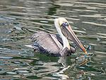Eastern Brown Pelican in water.