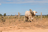 Rural Goias State, Brazil. Zebu cattle in a barren, dry landscape.