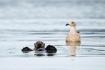 Sea Otter (Enhydra lutris) pup with immature Western Gull (Larus occidentalis) waiting for food scraps, Elkhorn Slough, Monterey Bay, California
