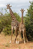 Tanzania.  Two Young Adult Maasai Giraffes.  Tarangire National Park.