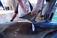 long line shark fisherman fins great hammerhead shark, Sphyrna mokarran, caught on long-line, Exmouth, Australia, Indian Ocean