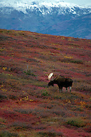 Bull Moose (alces alces) stands on a hillside of colorful autumn tundra