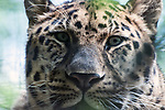 amur leopard close up of face through trees