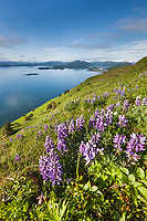 Wildflowers bloom in a meadow on Pillar mountain overlooking Kodiak Island to the south, Kodiak, Alaska.