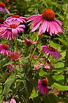 Purple Coneflower, Echinacea purpurea, US Botanic Garden, National Mall, Washington DC