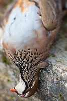Europe/France/Centre/41/Loir-et-Cher/Sologne/Env de Bracieux:  Tableau de Chasse:  Perdreau rouge // Europe/France/Centre/41/Loir-et-Cher/Sologne/Near  Bracieux:  Hunting Season: Red partridge