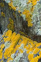 Lichens on Rock Face, Holbrook Island Sanctuary, Brooksville, Maine, US