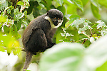 L'hoest's Guenon (Cercopithecus lhoesti) juvenile in tree, Bigodi Wetland Sanctuary, Magombe Swamp, western Uganda