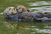 Sea Otter (Enhydra lutris) mother with young (about three weeks old) pup.  California coast.
