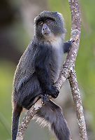 We had some excellent blue monkey shoots in Arusha National Park.