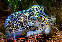 Southern Dumpling Squid, Euprymna tasmanica, Dumpling Squid holds a seagrass frond while foraging, Coffin Bay, South Australia, Australia, Southern Ocean