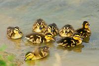 mallard ducklings near shore