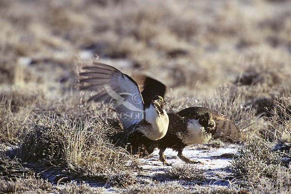 Two male sage grouse slap wings (fight) over territory on a lek during spring mating rituals.  Western U.S.
