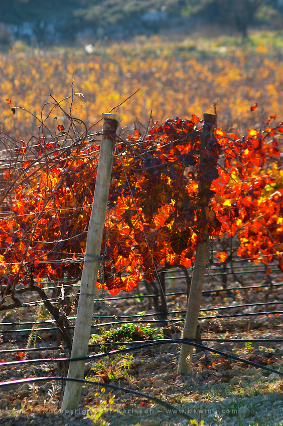 La Clape. Languedoc. Domaine Mas du Soleilla. Vine leaves. The vineyard. Bright and vibrant red and yellow autumn winter colours. France. Europe. Vineyard.
