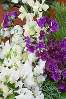 Sweet Peas in white, purple, cream Lathyrus odoratus, mixture of flowers colours colors